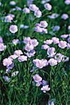 Gros plan de fleurs lin (Manitoba), Canada