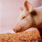 Profile of Pig