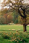 Sheep in Field Scotland