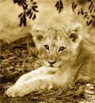 Portrait de Lion Cub Sabi Sands Game Reserve Afrique du Sud