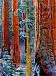 Sequoia Trees Sequoia National Park, California USA