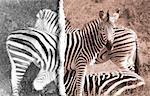 Burchell's Zebras Kruger National Park South Africa