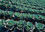 Cabbage Field Prince Edward Island, Canada