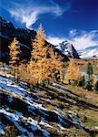 Autumn Larch, Opabin Plateau Yoho National Park British Columbia, Canada