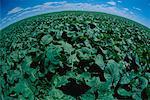 Early Green Canola Field Somerset, Manitoba, Canada
