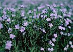 Lin fleurs Minnedosa, Manitoba, Canada