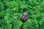 Fleurs roses chez vert feuilles Bronte Creek Provincial Park, Burlington, Ontario, Canada