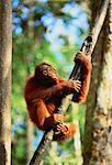 Orang-outan grimpant arbre Sarawak, Malaisie