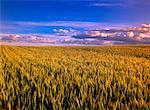 Barley Field Airdrie, Alberta, Canada