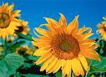 Close-Up of Sunflowers Bow Island, Alberta, Canada