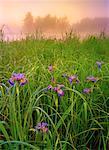 Blue Flag Irises Whiteshell Provincial Park Manitoba, Canada