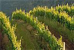 Vineyard, Okanagan British Columbia, Canada
