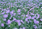 Champ de lin en fleur Minnedosa, Manitoba, Canada