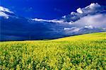 Champ de canola et nuages Three Hills, Alberta, Canada