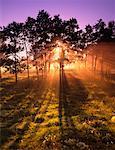 Sunrise Through Trees Sherwood Park, Alberta, Canada