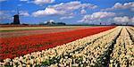 Tulip Field and Windmills Schermerhorn, The Netherlands