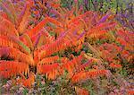 Sumac in Autumn Near Fredericton New Brunswick, Canada