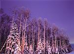 Neige fraîche dans les arbres près de Nojack, Alberta, Canada