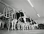 Cows In Dairy Farm