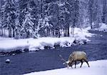 Wapitis près de l'eau en hiver Parc National de Yellowstone, Wyoming, USA
