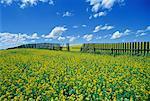 Champ de canola et clôture Dalmas, Saskatchewan, Canada
