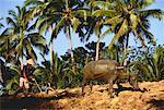 Homme labourer le champ avec Bull Province de Bohol, Philippines