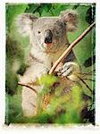 Portrait of Koala in Tree Queensland, Australia