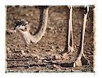 Head and Feet of Ostrich Australia