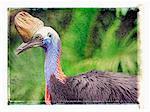 Voir le profil:: casoar, Queensland, Australie