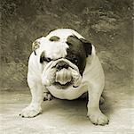 Portrait de Bulldog