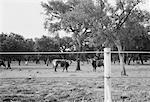 Taureaux dans le champ derrière la clôture, Portugal