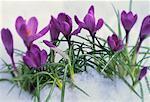Krokusse im frischen Frühling Schnee
