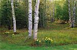 Daffodils near Tree, New Brunswick, Canada