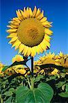 Sunflower Field Deux Sevres Region, France
