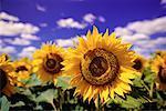 Sunflower Field Saskatchewan, Canada