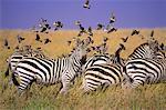 Zebras and Birds in Field Maasai Mara Game Reserve Kenya, Africa