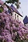 Wisteria Flowers near House
