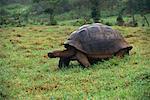 Giant Tortoise, île de Santa Cruz, aux îles Galapagos, Equateur