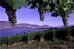 Grape Vines and Vineyard Okanagan Valley British Columbia, Canada
