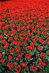 Tulip Field Ottawa, Ontario, Canada