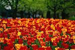 Tulip Field and Trees Ottawa, Ontario, Canada