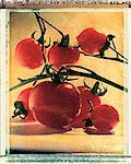 Tomates sur vigne
