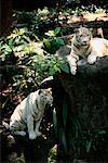 Tigres Indiens blancs au jardin zoologique de Singapour Singapour