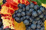 Close-Up of Grapes on Vine Wachau, Austria