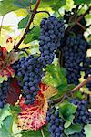 Gros plan des raisins sur les vignes Wachau, Autriche