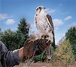 Faucon hybride sur Gauntlet
