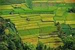 Aerial View of Rice Fields Ubud, Bali, Indonesia