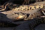 Crocodiles at Snake Farm in Klong Sanam Chai Bangkok, Thailand