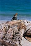 Lizard on Rocks Manuel Antonio Park Costa Rica