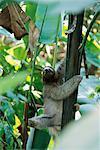 Trois doigts paresseux dans les arbres Parc de Manuel Antonio, Costa Rica